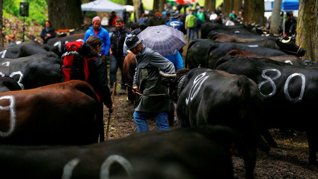 Batalla de vacas en Suiza