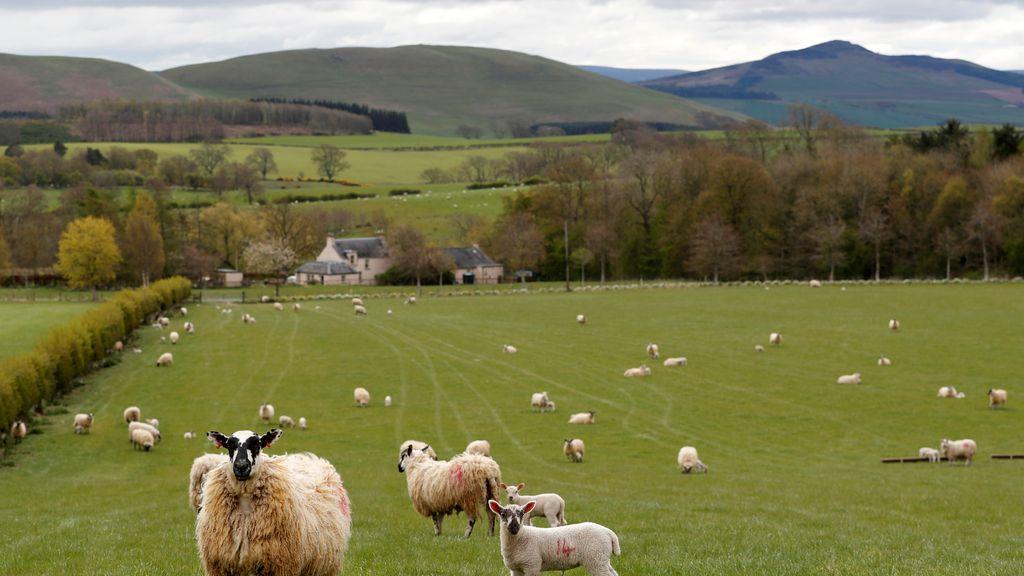Ovejas pastando en Escocia
