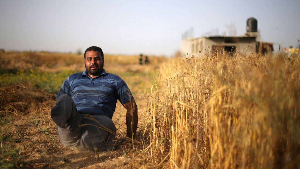 Cosecha de trigo al sur de la Franja de Gaza