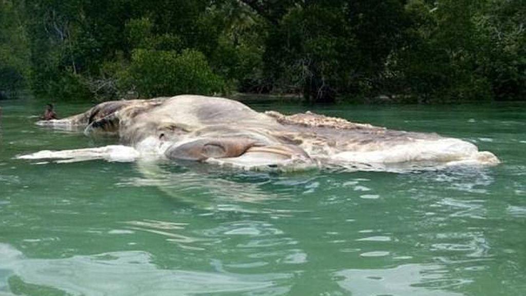 Los restos de una monstruosa criatura marina intrigan a las autoridades de Indonesia