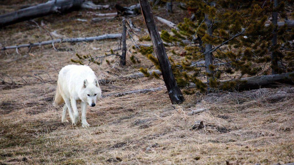 Matan al último lobo blanco que quedaba en Yellowstone, Estados Unidos