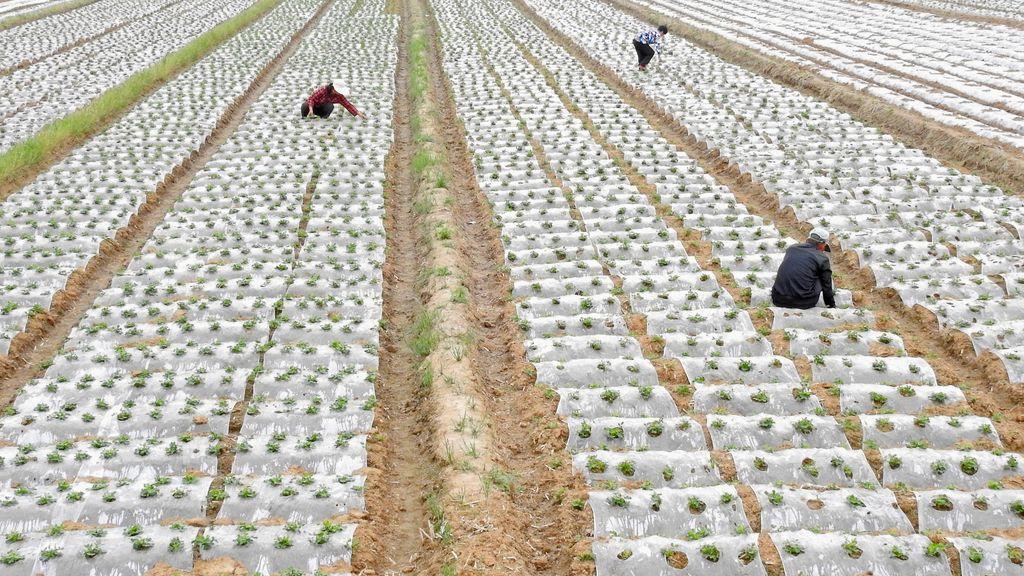 Plantaciones de cacahuetes