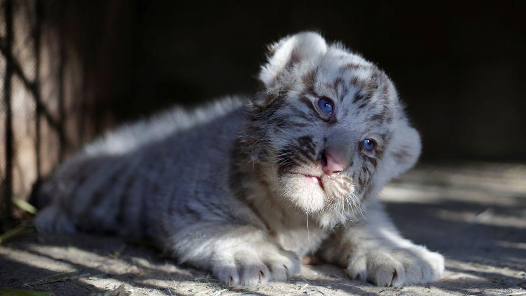 Nace un tigre siberiano en el zoo de Ciudad Juárez