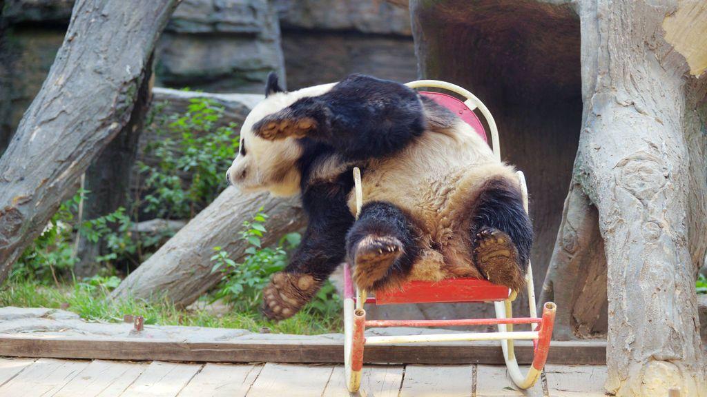 Un oso panda del zoológico de Pekín