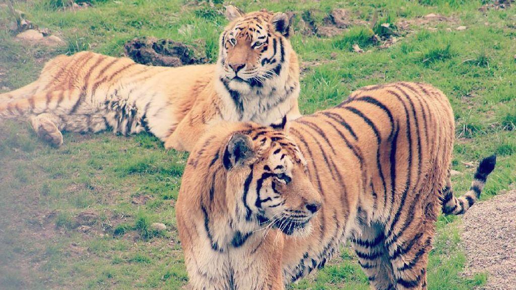 ¿Puedes ver a la pareja de tigres en esta foto?