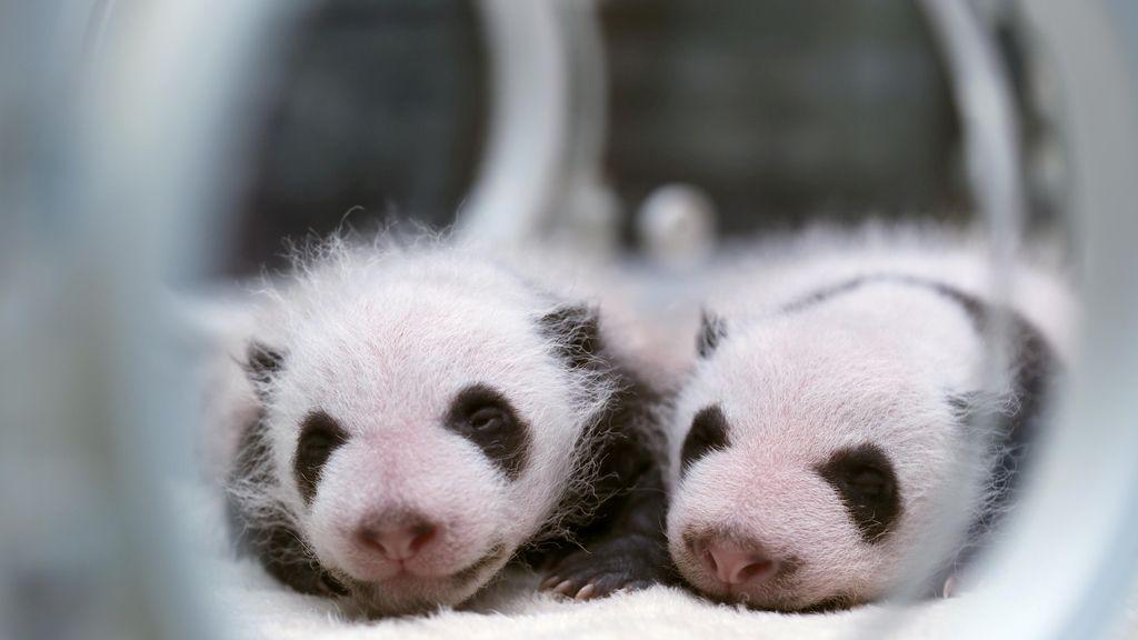 Dos pandas recién nacidos sobreviven en una incubadora de un centro de investigación chino