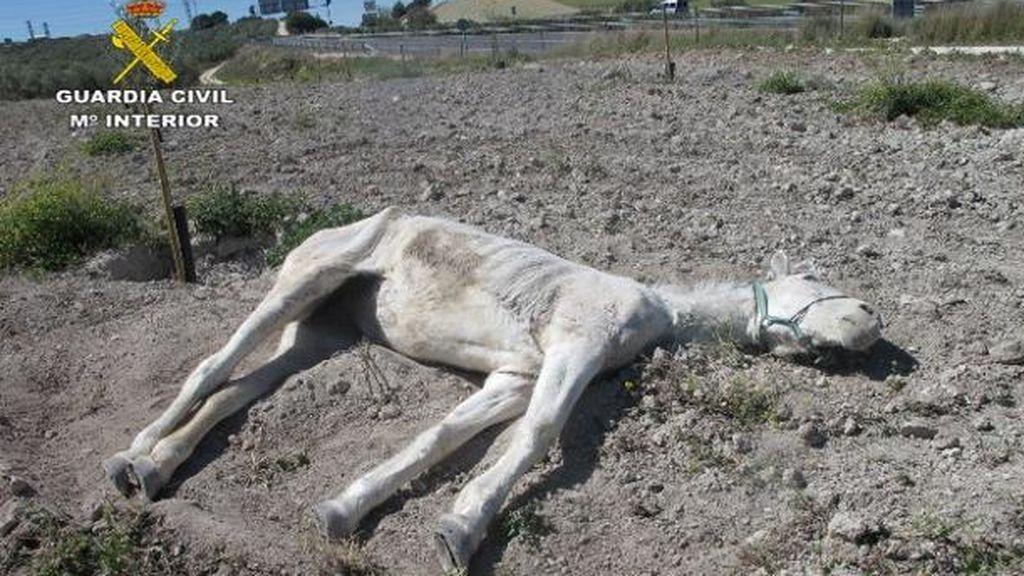 Imputado por abandonar hasta la muerte a una yegua en Estepa