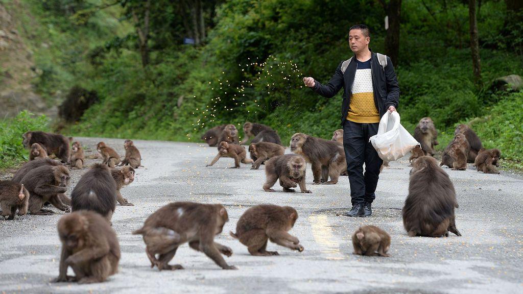 Monos alimentados como pollos