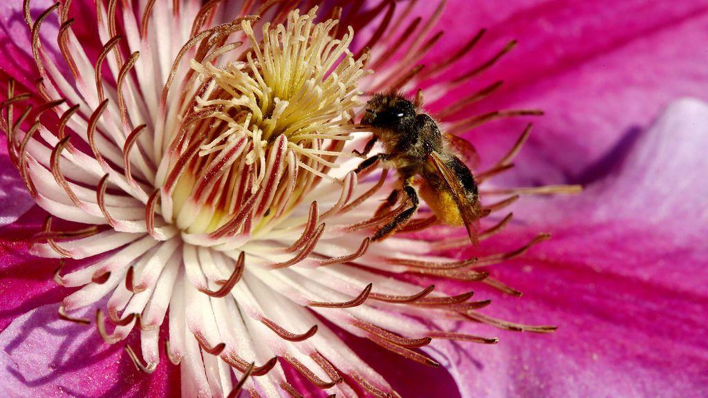 Una abeja recoge néctar de una flor