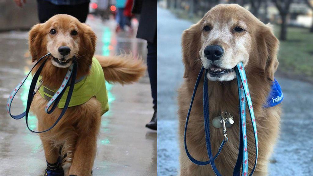 El perro perfecto existe y vive en California: este es Sporty, ¡se saca a pasear a sí mismo!