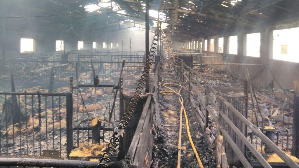 Más de 1.000 cerdos mueren calcinados en el incendio de un cebadero en Murcia