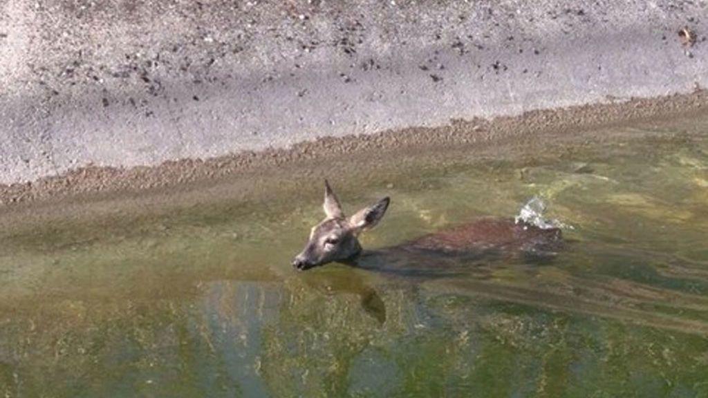 Rescatada una corza tras caer a un canal de riego del Tajo en Madrid