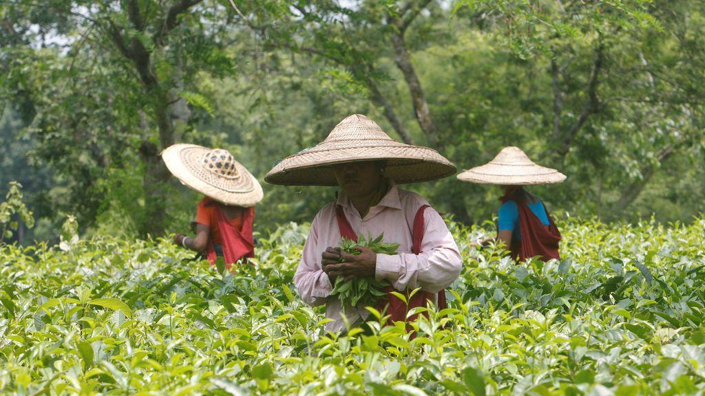 Trabajadores de la India recogen las hojas de té