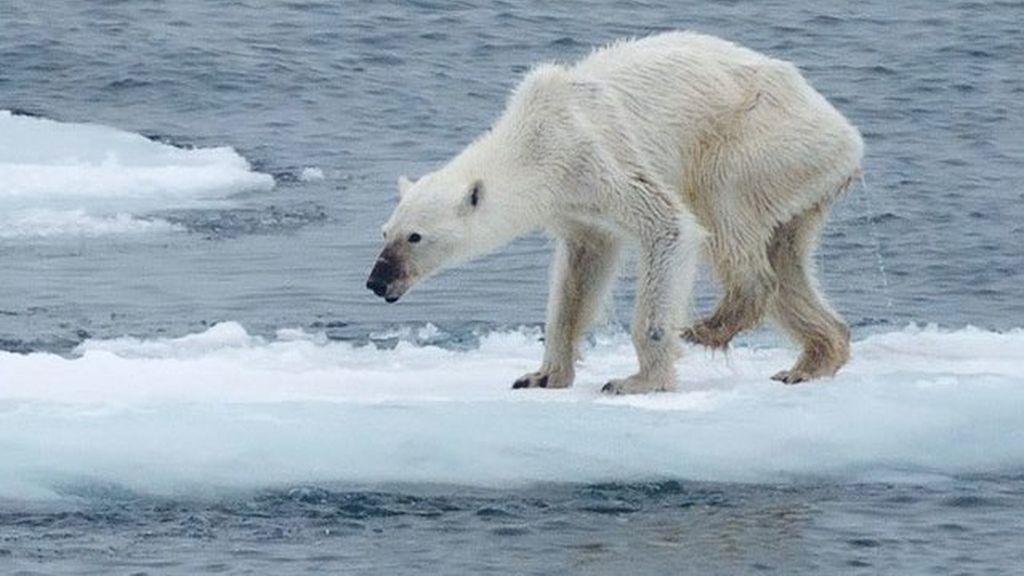 Los osos polares se mueren de hambre y se quedan sin hogar