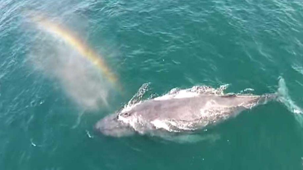 ballena arcoíris
