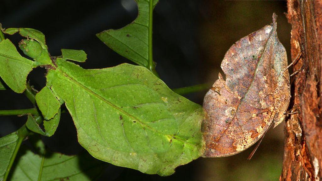 El insecto-hoja: una mascota ni perenne ni caduca