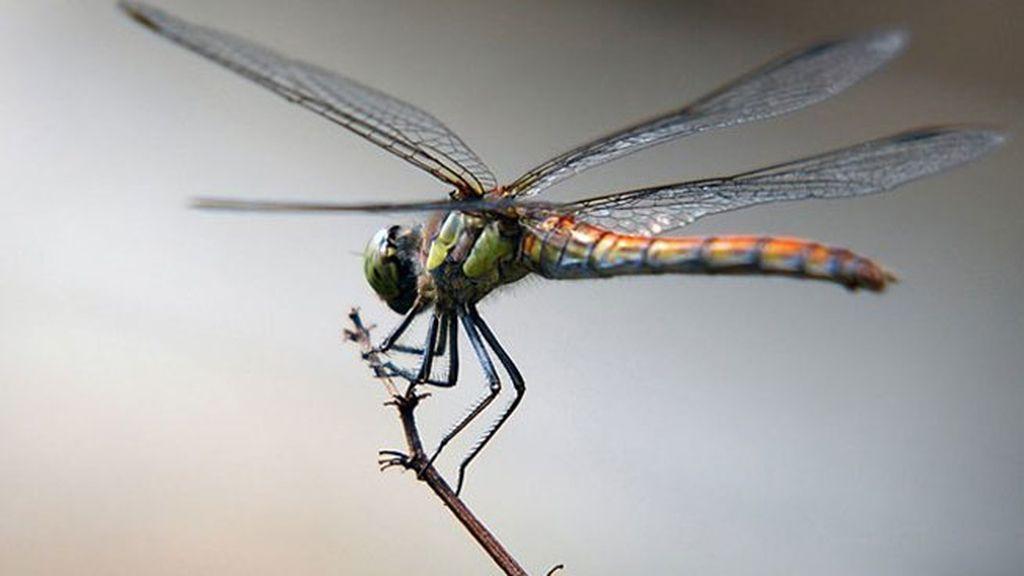 La libélula-helicóptero: ¡aterriza como puedas!