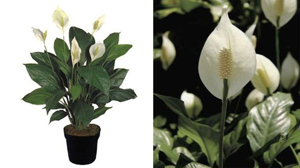 Spathiphyllum: elimina el formaldehído, el tricloroetileno y el benceno