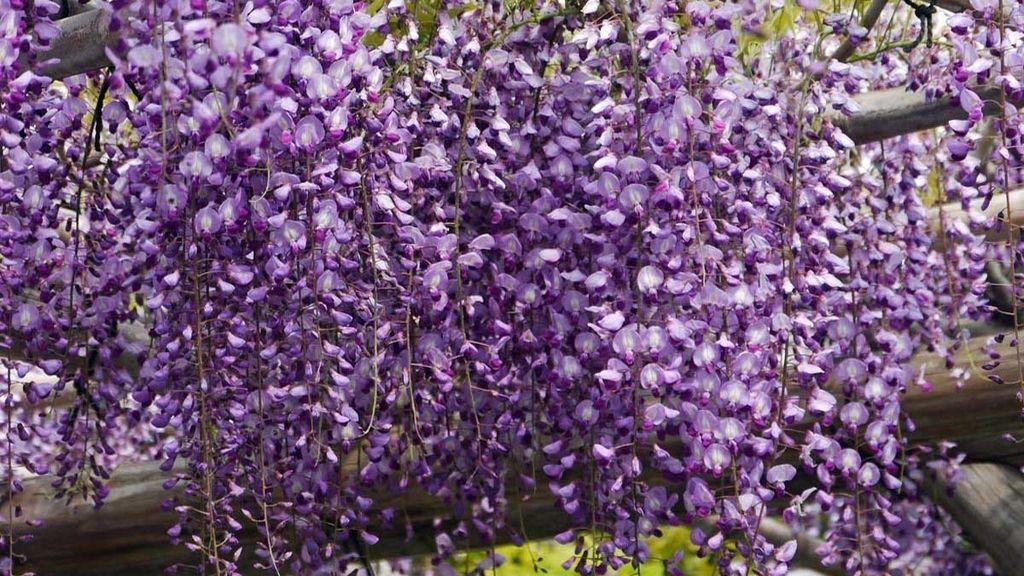 Son glicinas, robustas enredaderas color lila de 30 metros de largo