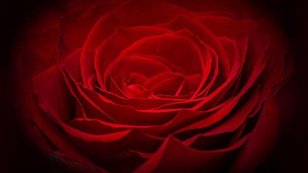 """""""Me enamoré de ti desde el primer momento en que te vi"""", con la rosa roja"""