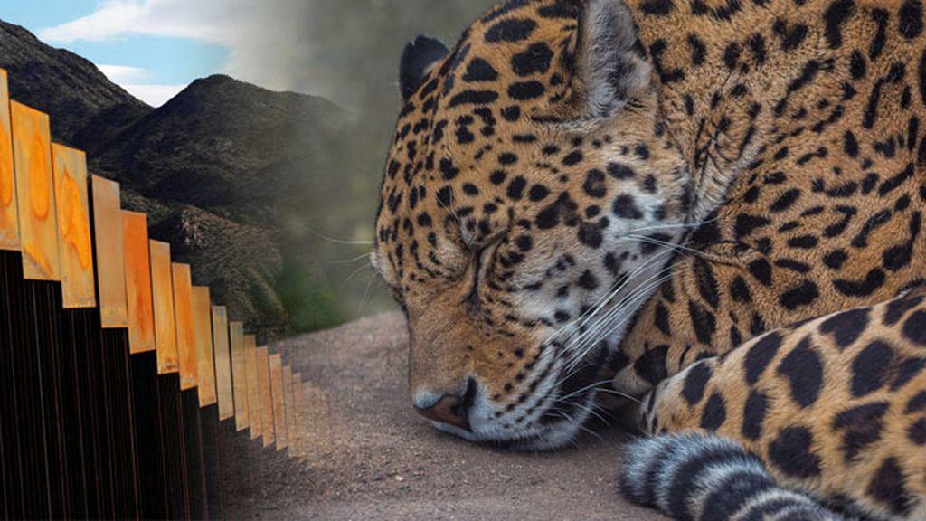 Jaguar vs Muro Trump