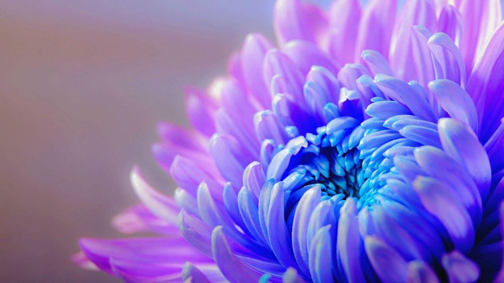 """""""Ya no sufro por ti ni por tu amor"""", con el crisantemo azul"""