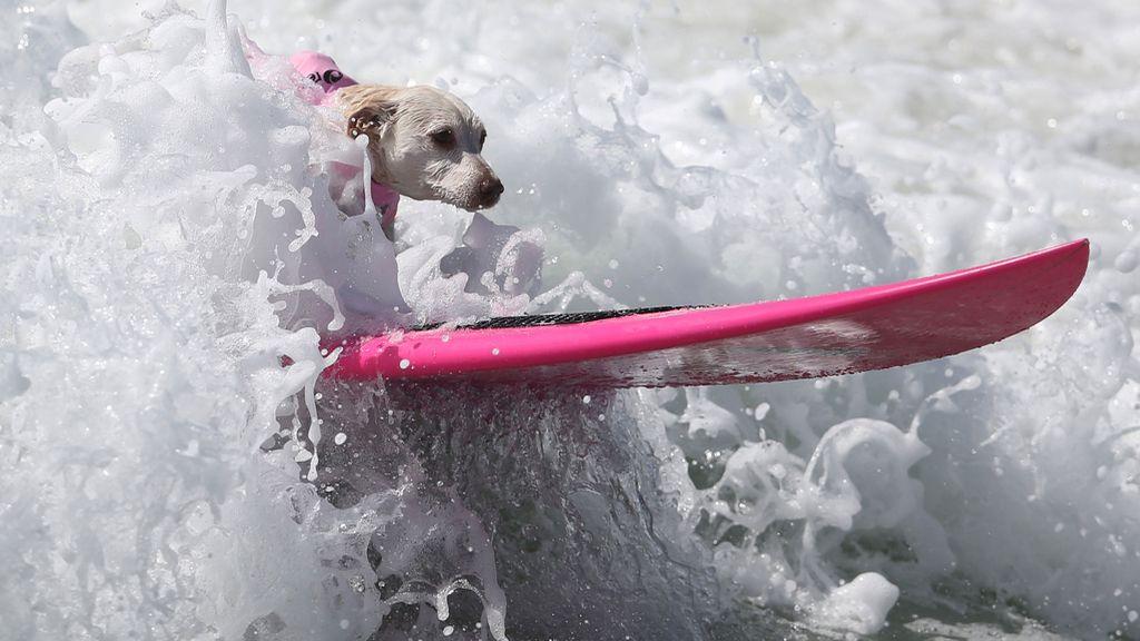 Bono y el resto de canes han competido por ver quién es el rey de las olas