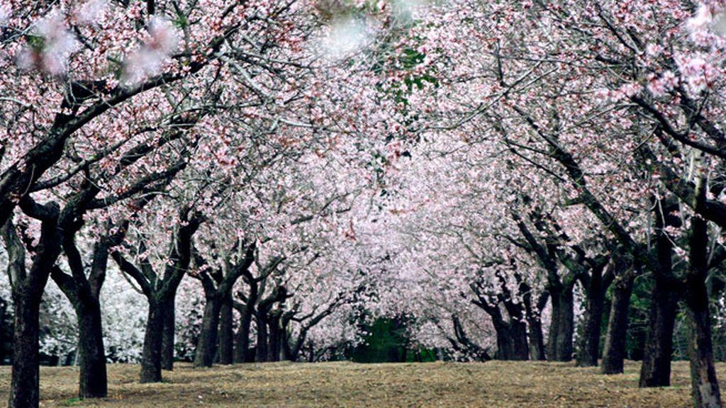 Insólito de primavera: pasea entre los almendros en flor