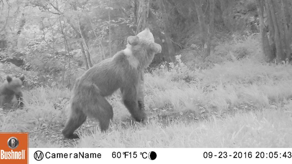 Las fotos evidencian la extrema delgadez de los osos pardos