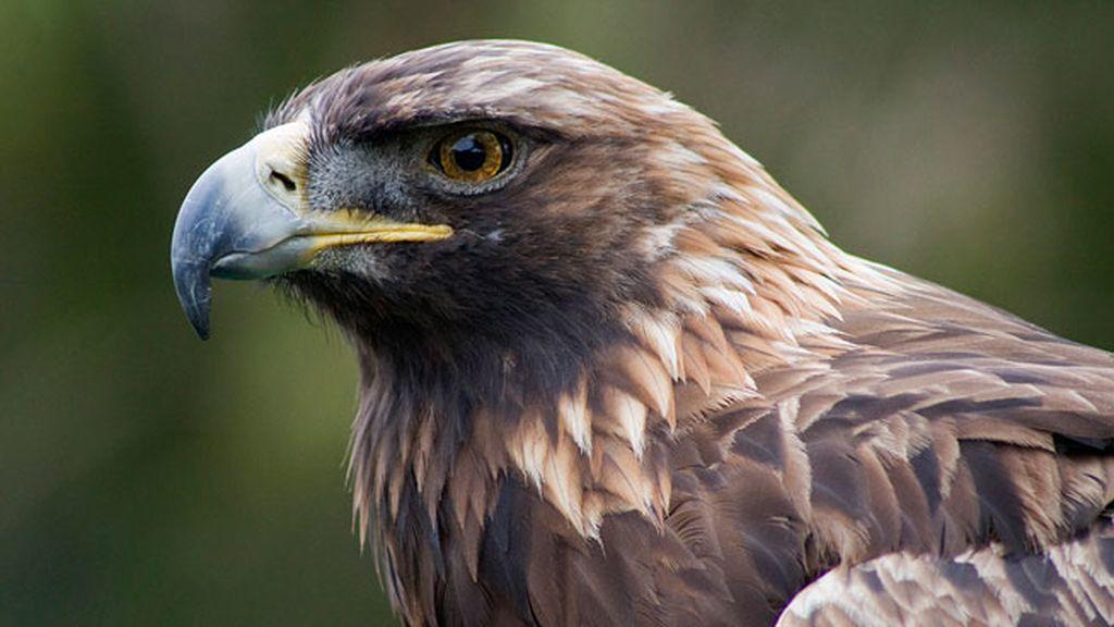 Aguilas Doradas