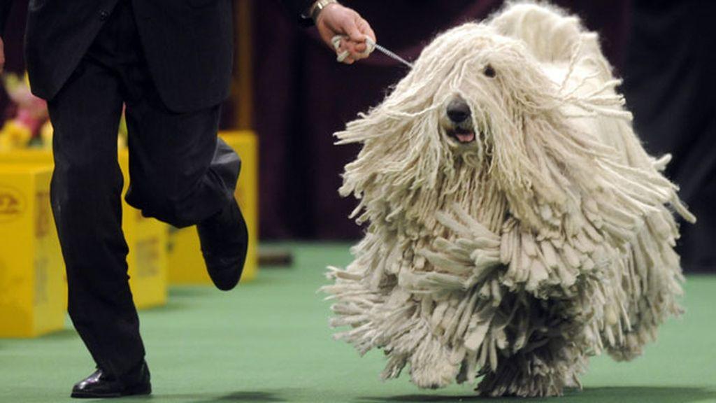 El perro-mopa: la pesadilla de los peluqueros caninos
