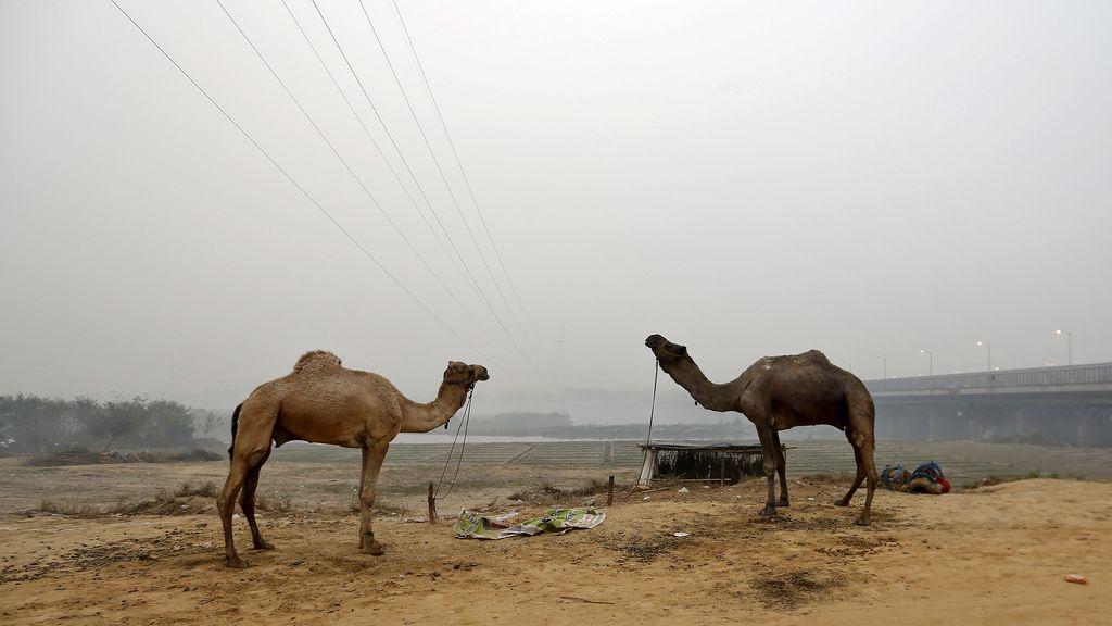 Los camellos de la India conviven diariamente con la enorme polución de las ciudades