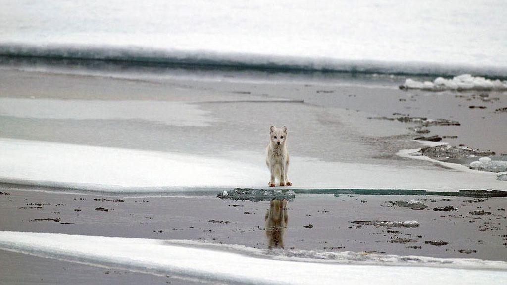 La desaparición del hielo altera el ciclo de vida del zorro polar, causando un descenso en las poblaciones
