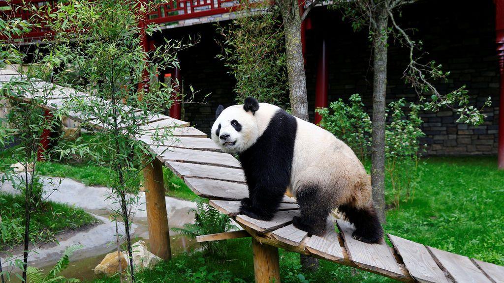 Una hembra de oso panda en el zoológico de Ouwehands en Rhenen, Países Bajos