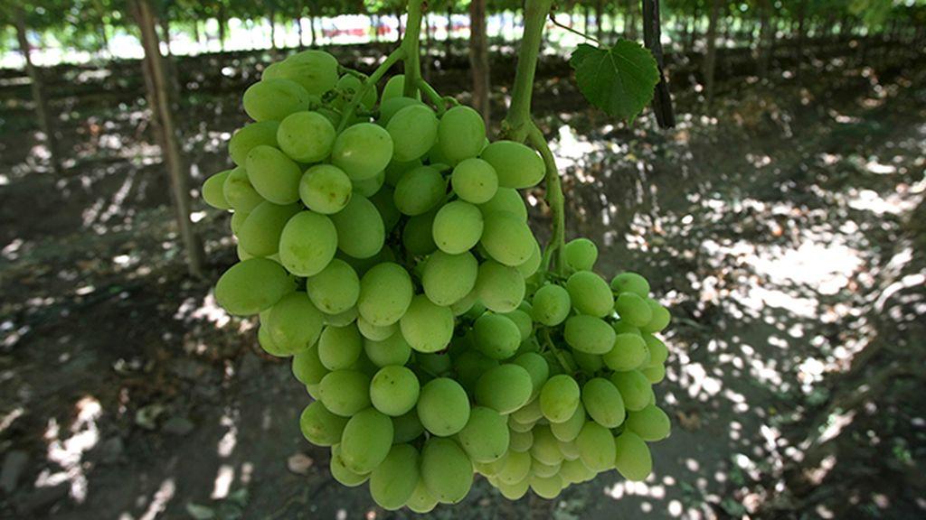 Semillas de uva