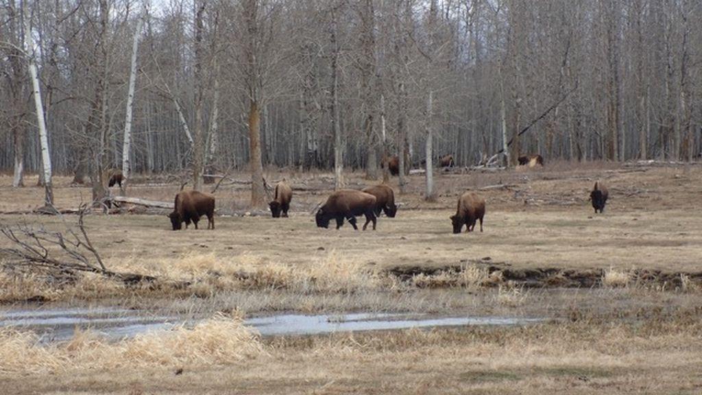 Más bisontes