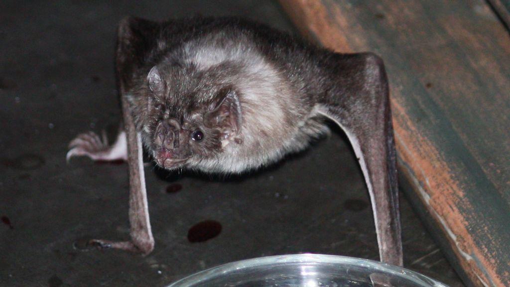 Muere un hombre y 40 personas son heridas por las mordeduras de 'murciélagos vampiro'
