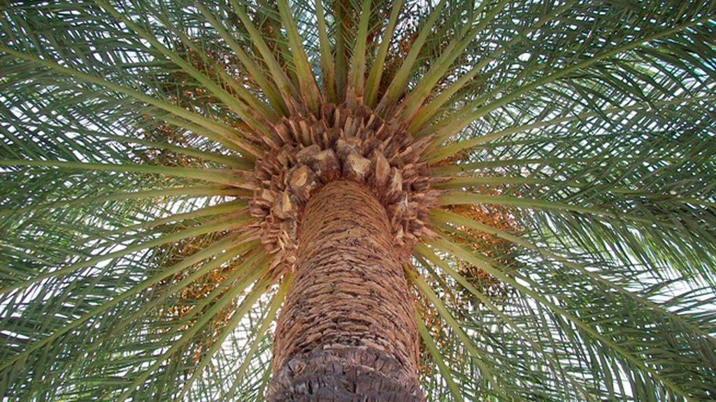 Domingo de ramos en el palmeral más grande de Europa