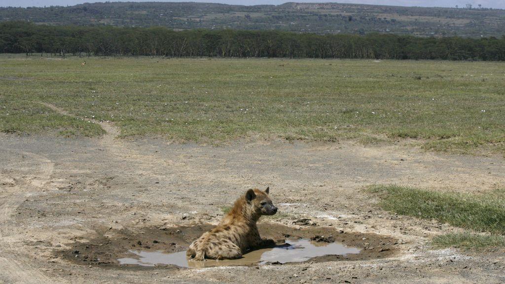 Las hienas ya no tienen apenas sitio donde refrescarse en Kenia