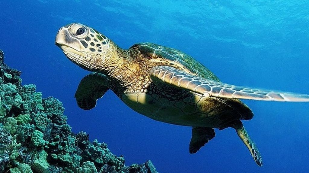 Gran tortuga verde en peligro