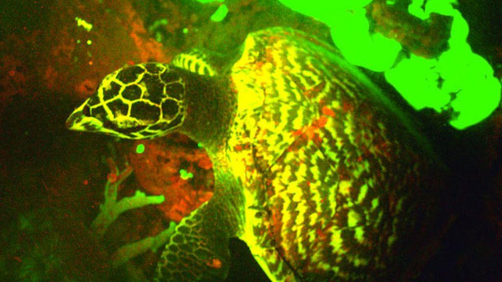 La tortuga carey que brilla en la oscuridad