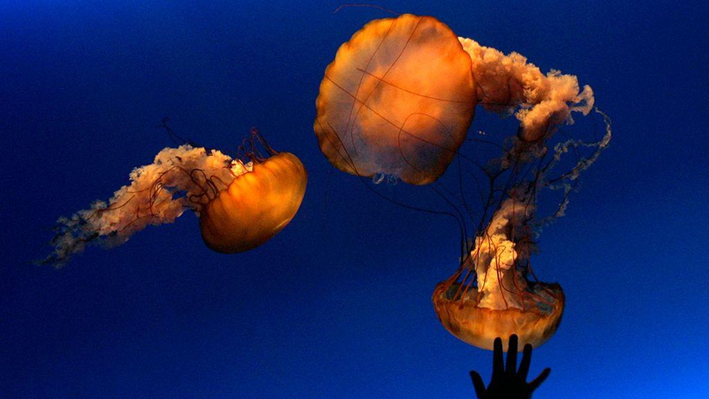 Un baile gelatinoso en el mar