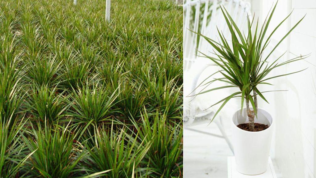 Dracaena marginata: elimina el xileno y le gustan los espacios de luz moderada