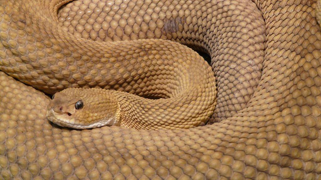 Ofidiofilia, zoofílicos con una debilidad especial por las serpientes