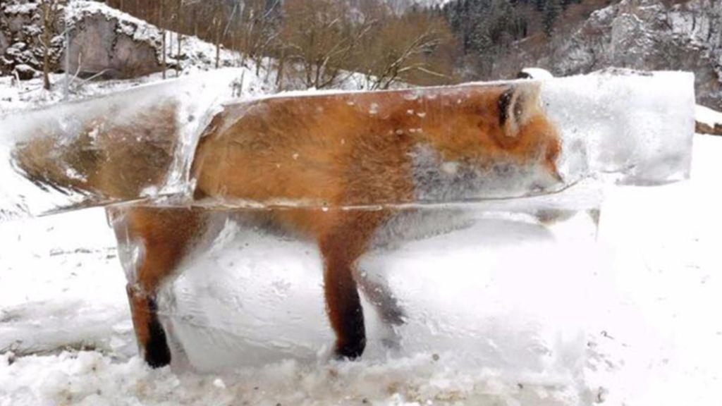 zorro congelado 1