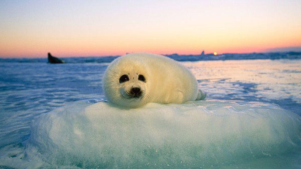El deshielo del Ártico hace que las focas se ahoguen por falta de espacio