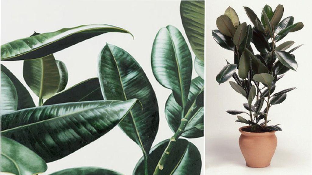 Ficus robusta: acaba con el formaldehído y ayuda a mantener la humedad
