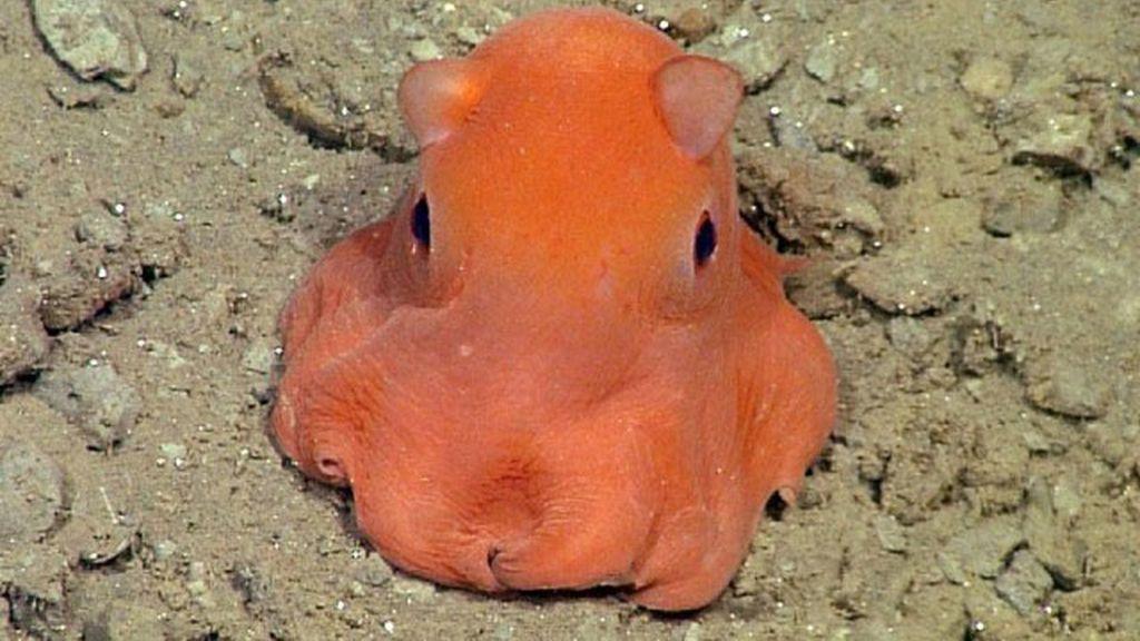 El pulpo más 'adorabilis' del fondo marino