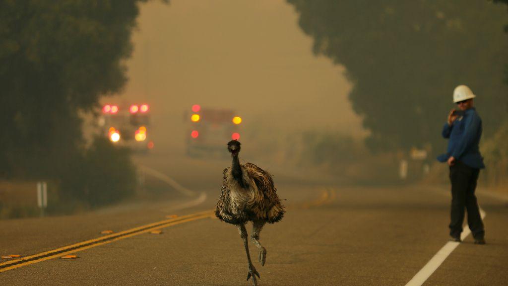 Un emú que escapa como puede de un descomunal incendio en Potrero (California) en junio
