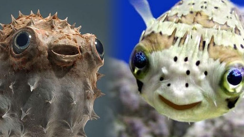 Los peces globo: tiernos… y letales